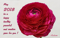 My Best Wishes ... (AnyMotion) Tags: happynewyear prositneujahr persianbuttercup ranunkel ranunculusasiaticus floral flowers blossom blüte plant pflanze 2017 anymotion nature natur frankfurt vase 6d canoneos6d colours colors farben pink rosa