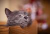 Grosse fatigue (Philippe POUVREAU) Tags: chat cat animal mistigris fatigue saintbrevin home félin gris grey 2017