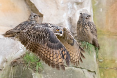 Threesome Fascination Eagle Owls (eric-d at gmx.net) Tags: eagleowl owl owls eule eulen eric naturepicturede wildlife bubobubo
