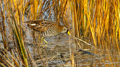 Sora (Bob Gunderson) Tags: alamedacounty arrowheadmarsh birds california eastbay northerncalifornia porzanacarolina rails railsgallinulescoots sora