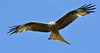 Red Kite (KHR Images) Tags: redkite red kite milvusmilvus wild bird birdofprey inflight flying gigrin farm rhayader wales wildlife nature nikon d7100 kevinrobson khrimages