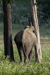 Feeding Elephant (aanantha.krishnan) Tags: wild tusker pachyderm elephant asian mammoth massive strength trunk nagerhole india feeding bark tree