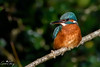 Kingfisher (geraintparry) Tags: south wales southwales nature geraint parry geraintparry wildlife cardiff forestfarm forest farm close closeup sigma sigma150600 150600 150600mm d500 nikond500 bird birds perch perched kingfisher kingfishers