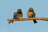 "Bluebird Pair (dennis_plank_nature_photography) Tags: sialiamexicana westernbluebird bird wa washington aves avian backyard birds littlerock nature prairie ""thurstoncounty"" ""avianphotography"" ""birdphotography"" ""naturephotography"" ""southsoundprairies"""