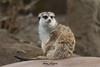 Meerkat (ToddLahman) Tags: meerkat outdoors goldenhour sandiegozoo sandiego canon canon7dmkii closeup portrait beautiful