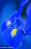 Blue Light (frederic.gombert) Tags: lily color colors blue yellow colorful sun garden close up macro nikon soft contrast purple
