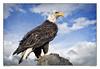 Klippel Point Eagle ~ Original poem by me (Johnrw1491) Tags: eagle bird prey birds wildlife nature habitat fine art ranches stories poems coppercloudsilvernsun