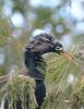 ANHINGA NESTING TIME (concep1941) Tags: birds anhingafamily freshwatermarshes swamps rivers
