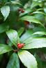 正月散歩 -shogatsu-sampo- (snappir) Tags: nikon d3300 carlzeiss jena flektogon 35mm sarcandraglabra センリョウ fluit 果実 leaf 葉