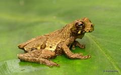 Short-headed Treefrog, Dendropsophus parviceps (Ecuador Megadiverso) Tags: amazon amphibian andreaskay anura dendropsophusparviceps ecuador frog hylidae rainforest sarayacutreefrog shortheadedtreefrog