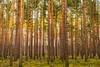 Wald (beginner17) Tags: 14 50mm altglas canon fd wald baum bäume kiefer sonne grün blau himmel oberhavel summt wensickendorf zühlsdorf explore
