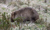 Wombat (Daniel J. Mueller) Tags: australia tasmania cradlemountain nationalpark grass bush leaves womat animal eating