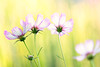 Cosmos (mclcbooks) Tags: flower flowers floral cosmos denverbotanicgardens colorado bokeh pink green