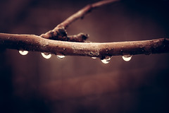melting (auntneecey) Tags: drops branch tree melting 365the2017edition 3652017 day357365 23dec17