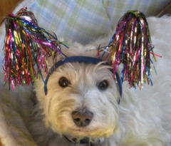 Riley's Birthday Photo (ellenc995) Tags: riley westie birthday christmas 12yearsold love december25 alittlebeauty coth thesunshinegroup coth5 fantasticnature challengeclub thegalaxy 100commentgroup sunrays5