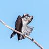 Osprey (Ed Sivon) Tags: america canon nature lasvegas wildlife wild western southwest desert clarkcounty clark vegas birdofprey bird henderson nevada nevadadesert park