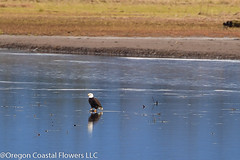 Oregon Coast (Oregon Coastal Flowers) Tags: oregon coast bald eagle