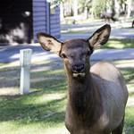 Elk, Waskesiu Townsite, Prince Albert National Park thumbnail