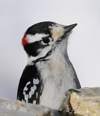 Downy Woodpecker - Picoides pubescens (Jean-François Hic) Tags: downywoodpecker picoidespubescens