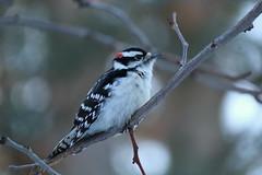 23. Hairy woodpecker staredown (Misty Garrick) Tags: arboretum minnesotaarboretum minnesotalandscapearboretum bird birding woodpecker hairywoodpecker mnarblife