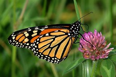 Monarch Butterfly 422 - Danaus Plexippus (Chrisser) Tags: insects insect butterflies butterfly monarch danausplexippus nature ontario canada canoneosrebelt6i canonef75300mmf456iiiusmlens nymphalidae