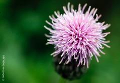 Cirsium arvense (Wonder Kitsune) Tags: cirsium thistle asteraceae wildflowers wildflower