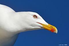 Patiamarilla* (Enllasez - Enric LLaó) Tags: gaviota ave pájaro ocells 2018