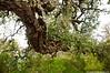 Quercus suber (Cjasar) Tags: quercussuber sughera tree bark cork corkoak sughero sardinia sardegna sardigna settifradis forest bosco foresta mediterranean mediterraneo