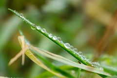 Dew because of fog (Nils Croes) Tags: dew water drops waterdrops macro nature green flora canon 60d 70300mm