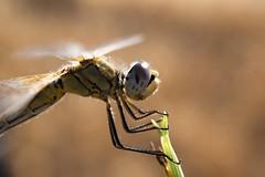 When the sun goes down (Giorgia_Amendola) Tags: dragonfly dragonflies odonata odonati odonate libellula libellule insect insects insetti insetto insectos insectes insecta animal animals animale animali allaperto outdoors sunset glares macro macrophotography macrofotografia macrodreams bug bugs nikon nikonitalia d5500 nature natura