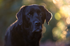 At days end. (Marcus Legg) Tags: max dog blacklabradorretriever black labrador retriever pet bokeh sunset woods woodland animal outdoors outside backlit canon eos 1dx ef70200mmf28lisii portrait friend fur natural atmospheric golden autumn dogs handsome moody light