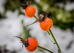 8146 (1 of 1) (sallyjane6) Tags: snow snowyday newlife buds winter bedford holly macro closeup