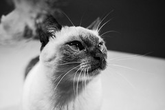 Celine (angie.martina) Tags: thaicat cat kitten blueeyes pet cats detail macro sealpoint chocolatepoint supercute funny animal portrait reflex canon 760d italy light summer pink red chocolate brown color july shadows pretty inside creative digital art design day mono effect home room blue eyes view indoor point siamese thai celine gatto