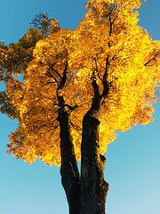 Last days of autumn (viviandemotte) Tags: germany munich afternoon eos1300d canon beautiful tree october golden leaves sunny autumn