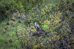 Grey Heron (Sheldrickfalls) Tags: greyheron bloureier heron ardeacinerea southernmaskedweaver weaver ploceusvelatus sabisands sabisabi sabisabiearthlodge earthlodge nottensbushcamp krugernationalpark kruger krugerpark mpumalanga southafrica