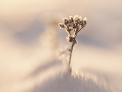 Frosty plant in soft winter light (Helena Normark) Tags: frost frostyplant beautifullight winter heimdal trondheim sørtrøndelag norway norge sonyalpha7 a7 50mm lensbaby sweet50 lensbabysweet50 lensbabylove seeinanewway