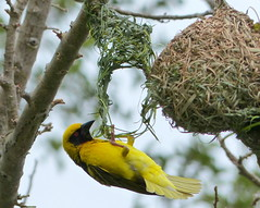 Masked weaver (male) making another nest (elle2028) Tags: weaver