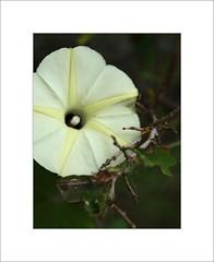 KD frame03 (Mohan S Bhat) Tags: karnataka cottonfield farm countryside roadtrip flower leaves bush yellow offwhite