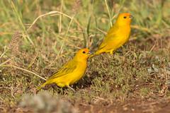 Saffron Finch (7DC_6844-1) (Eric SF) Tags: saffronfinch finch koolinabeach oahu hawaii