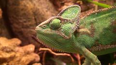 Chameleon (Sergio Pandiscia) Tags: chameleon camaleonte rettile mutazione natura animals reptile nature zoom green