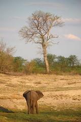 Timbavati Private Nature Reserve - Elephant