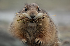 Prairie dog (K.Verhulst) Tags: prairiedog prairiehondje blijdorp diergaardeblijdorp rotterdam coth5 ngc npc