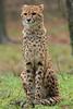 cheetah Burgerszoo BB2A6033 (j.a.kok) Tags: cheetah jachtluipaard kat acinonyxjubatus acinonyxjubates cat animal burgerszoo africa afrika predator zoogdier dier mammel