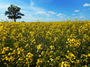Colorful Summer (04) (rimasjank) Tags: rape blossom landscape field lietuva lithuania