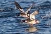Red-breasted Merganser (Simon Stobart) Tags: redbreasted merganser male mergus serrator water northeast england flying coth5 ngc npc