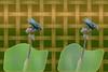 Pole Balancer Tachinid - Crosseye 3D (DarkOnus) Tags: pennsylvania buckscounty panasonic lumix dmcfz35 3d stereogram stereography stereo darkonus closeup macro insect oob framed ttw pole balancer tachinid fly diptera crossview crosseye