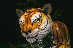 Wild Lights (Strangelove 1981) Tags: 2017 dublinzoo ireland wildlights zoo night lights glow light animals festival tiger tigers
