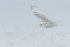Snowy Owl #2 (Patti Deters) Tags: bird owl snowyowl white avian snow flight wings flying winter cold snowy perched telephone pole vertical blue eyes yellow barred outdoors irruption