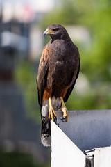Harris's Hawk (Parabuteo unicinctus) in Mexico City (Christian González Verón) Tags: falcon harrisfalcon halcón tieren vogel oiseaux cdmx mexico canon canoneos7dmarkii 7dmarkii 7d 7dmk2
