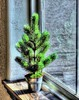 Go With Green (clarkcg photography) Tags: green evergreen planted bucket window light needles pine gorgeousgreen